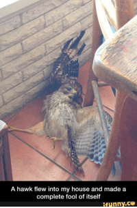 Well, this is hawkward: A hawk flew into my house and made a  complete fool of itself  ifunny.CO Well, this is hawkward