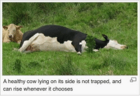 "parents: ""u should be more active"" me:: A healthy cow lying on its side is not trapped, and  can rise whenever it chooses parents: ""u should be more active"" me:"