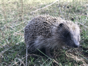 A hedgehog spotted in the wild. He gave us a smile!: A hedgehog spotted in the wild. He gave us a smile!