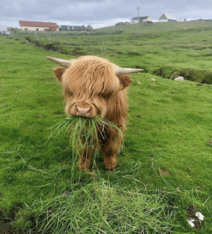 A highland cow munching on some lunch: A highland cow munching on some lunch