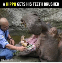 9gag, Memes, and youtube.com: A HIPPO GETS HIS TEETH BRUSHED  MANTENX Hipponotic to watch. 😪 Follow @9gag - - 📹XMANTENX | YouTube - - 9gag hippo dentist teeth toothbrush