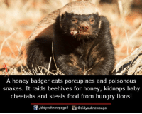 A honey badger eats porcupines and poisonous  snakes. It raids beehives for honey, kidnaps baby  cheetahs and steals food from hungry lions!  /didyouknowpagel@didyouknowpage