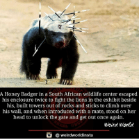 A Honey Badger in a South African wildlife center escaped  his enclosure twice to fight the lions in the exhibit beside  his, built towers out of rocks and sticks to climb over  his wall, and when introduced with a mate, stood on her  head to unlock the gate and get out once again  Weird World  weirdworldinsta