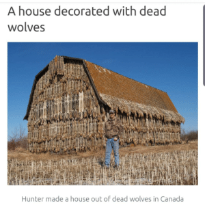 Man made a house with dead wolves, with there being no limit on killing wolves in Alberta, Canada.: A house decorated with dead  wolves  Hunter made a house out of dead wolves in Canada Man made a house with dead wolves, with there being no limit on killing wolves in Alberta, Canada.