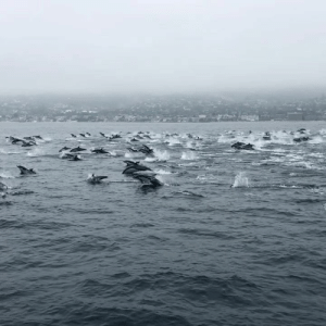 A huge pod of dolphins spotted off the coast of California 🐬: A huge pod of dolphins spotted off the coast of California 🐬