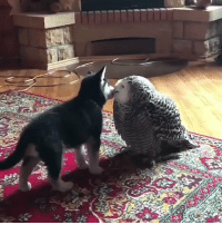 Husky, Girl Memes, and Pup: A husky pup kissing an owl https://t.co/ezlW97wXGV