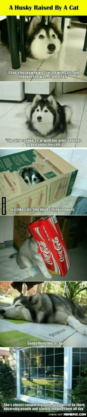 """silly huskyomg-humor.tumblr.com: A Husky Raised By A Cat  """"I had a husky who was raised with cats, and  thought she was.catherself""""  """"She also sat like a cat, with her arms and legs  tucked under herself.""""  Elagei s en resine  Just like cats, She liked sitting in boxes  """"Sunbathing like a cat""""  observing people and silently judging them all day""""  CНECK OUT MЕМЕРIХ.COM  """"She's almost completely mute. She likes to lie there,  MEMEPIX.COM  Coca-Cola silly huskyomg-humor.tumblr.com"""
