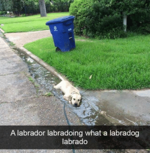 He just wants to go for a swim: A labrador labradoing what a labradog  labrado He just wants to go for a swim