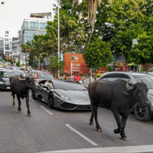A Lamborghini blocked by two Buffaloes: A Lamborghini blocked by two Buffaloes
