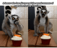 Memes, Cupcakes, and Discover: A lemur who has discovered the wondrousness of  cupcakes for the first  time.