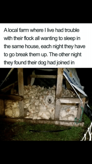 Doggos, puppers and floofers, oh my! #Dogs #Animals #Pets #Memes: A local farm where I live had trouble  with their flock all wanting to sleep in  the same house, each night they have  to go break them up. The other night  they found their dog had joined in  m.eon Doggos, puppers and floofers, oh my! #Dogs #Animals #Pets #Memes