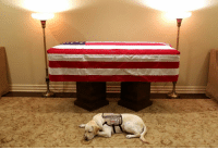 A loyal companion to the end. Former US President George HW Bush died on Friday and this image of his service dog Sully by his casket has been shared across the world. The yellow Labrador will travel with Bush's coffin to Washington DC on board Air Force One, ahead of his funeral later this week. After that, Sully will be sent to help another veteran at the Walter Reed National Military Medical Centre. Tap the link in our bio to see more famous political pets. 📷: Jim McGrath. dog politics instagood Bush BBCNews: A loyal companion to the end. Former US President George HW Bush died on Friday and this image of his service dog Sully by his casket has been shared across the world. The yellow Labrador will travel with Bush's coffin to Washington DC on board Air Force One, ahead of his funeral later this week. After that, Sully will be sent to help another veteran at the Walter Reed National Military Medical Centre. Tap the link in our bio to see more famous political pets. 📷: Jim McGrath. dog politics instagood Bush BBCNews
