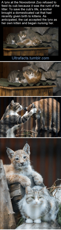 Cute, Fake, and Family: A lynx at the Novosibirsk Zoo refused to  feed its cub because it was the runt of the  litter. To save the cub's life, a worker  brought a domesticated cat that had  recently given birth to kittens. As  her own kitten and began nursing her.  Ultrafacts.tumblr.com apolloadama:  bigpapaonatrain:  This my bebe. Bebe is bigger than me. Strong bebe  ok friends i wanted to confirm this story's accuracy before reblogging so i googled it and yes it's TRUE AND ALSO the mom cat raised the lynx baby ALONGSIDE HER KITTEN so we have all these cute pictures of the lynx cub with the kitten please look at them                ^^^ FAMILY PORTRAIT