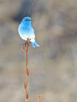 A male Mountain Bluebird frequently feeds his mate while she is incubating and brooding. As the male approaches with food, the female may beg fledgling-style—with open beak, quivering wings, and begging calls.: A male Mountain Bluebird frequently feeds his mate while she is incubating and brooding. As the male approaches with food, the female may beg fledgling-style—with open beak, quivering wings, and begging calls.