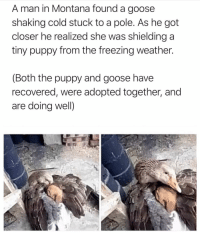 Beautiful, Http, and Montana: A man in Montana found a goose  shaking cold stuck to a pole. As he got  closer he realized she was shielding a  tiny puppy from the freezing weather.  (Both the puppy and goose have  recovered, were adopted together, and  are doing well) Beautiful creatures ❤️ via /r/wholesomememes http://bit.ly/2DdbFVY