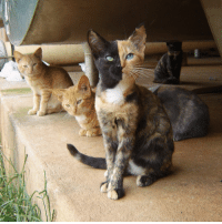 Me and my birth family at the dairy farm where I was born. That torti in the background is my birth mama. Isn't she pretty? Nobody knows what my birth father looked like for sure but some people from the farm think it may have been a black cat. fbf 2009 venus kitten family farmkitty: A Me and my birth family at the dairy farm where I was born. That torti in the background is my birth mama. Isn't she pretty? Nobody knows what my birth father looked like for sure but some people from the farm think it may have been a black cat. fbf 2009 venus kitten family farmkitty
