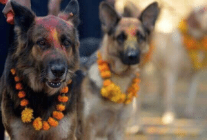 A Nepali festival to thank dogs for their friendship and loyalty: A Nepali festival to thank dogs for their friendship and loyalty