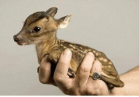 A newborn Chinese water deer is so small it can almost be held in the palm of the hand.