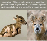 Deer: A newborn Chinese water deer is so small that  you can hold it in your hands  but when it grows  up, it sprouts fangs and looks like a vampire deer.