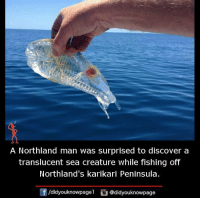 peninsula: A Northland man was surprised to discover a  translucent sea creature While fishing off  Northland's karikari Peninsula.  /didyouknowpagen  @didyouknowpage