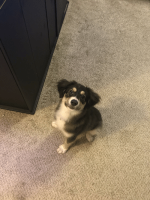 A picture of my 4-month Australian shepherd smiling at me!: A picture of my 4-month Australian shepherd smiling at me!