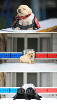 Love, Police, and Puppy: A police department did a photoshoot with their new puppy recruits, I'm in love 😍 https://t.co/KytMfGPaGQ