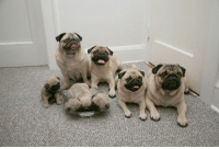 Family, Pug, and Get: a pug family get together https://t.co/Z2TOi7mruY