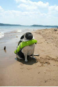 A pug in a lifejacket triumphantly facing her destiny.: A pug in a lifejacket triumphantly facing her destiny.