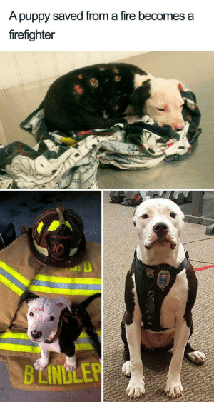 Wholesome 🔥: A puppy saved from a fire becomes a  firefighter  AWENDA  BLINDLER Wholesome 🔥