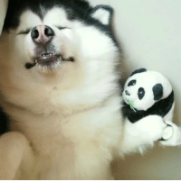 A rare chubby mannequin appears! (Credit: @maruhusky) _______ Steps: 1. Post your video 2. Hashtag 9gagMannequinChallenge Most liked video will be featured on @9gag _______ 9gag mannequinchallenge cute husky: A rare chubby mannequin appears! (Credit: @maruhusky) _______ Steps: 1. Post your video 2. Hashtag 9gagMannequinChallenge Most liked video will be featured on @9gag _______ 9gag mannequinchallenge cute husky