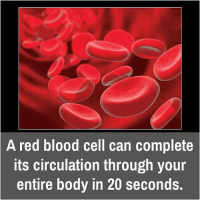 Bloods, Bodies , and Memes: A red blood cell can complete  Its circulation through your  entire body in 20 seconds.