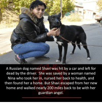 Angel: A Russian dog named Shavi was hit by a car and left for  dead by the driver. She was saved by a woman named  Nina who took her in, nursed her back to health, and  then found her a home. But Shavi escaped from her new  home and walked nearly 200 miles back to be with her  guardian angel.