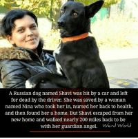 Bailey Jay, Memes, and Angel: A Russian dog named Shavi was hit by a car and left  for dead by the driver. She was saved by a woman  named Nina who took her in, nursed her back to health  and then found her a home. But Shavi escaped from her  new home and walked nearly 200 miles back to be  with her guardian angel. Wird Worl