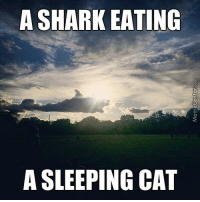Memes, Shark, and Sharks: A SHARK EATING  A SLEEPING CAT Can you see it too?