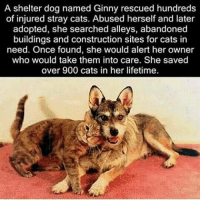 That's just amazing: A shelter dog named Ginny rescued hundreds  of injured stray cats. Abused herself and later  adopted, she searched alleys, abandoned  buildings and construction sites for cats in  need. Once found, she would alert her owner  who would take them into care. She saved  over 900 cats in her lifetime. That's just amazing