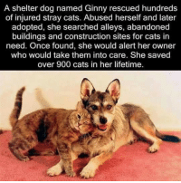 ginny's: A shelter dog named Ginny rescued hundreds  of injured stray cats. Abused herself and later  adopted, she searched alleys, abandoned  buildings and construction sites for cats in  need. Once found, she would alert her owner  who would take them into care. She saved  over 900 cats in her lifetime.