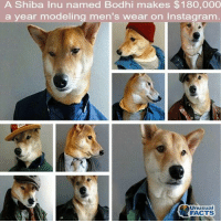 A Shiba Inu named Bodhi makes $180,000  a year modeling men's wear on Instagram  Unusual  FACTS
