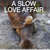 Love, Memes, and Search: A SLOW  LOVE AFFAIR 17 MAY: A love triangle leaves Jeremy, a left-coiling garden snail, on the shelf. Find out more about the search for a suitable partner for this rare snail bbc.in-leftysnail snailJeremy snails lefty leftcoile UniversityofNottingham BBCShorts BBCNews @BBCNews