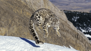a-snarling-slytherin: supreme-leader-stoat:  moose-hawkins:  coolcatgroup:  cat-pictures-daily: he hop  Sproing boing boing    BOUNCY BOUNCY BOUNCY BOUNCY FUN FUN FUN FUN FUN  AND THE MOST WONDERFUL THING ABOUT TIGGERS IS THERE'S APPARENTLY MORE THAN ONE!   Snow leopards are my favorite. : a-snarling-slytherin: supreme-leader-stoat:  moose-hawkins:  coolcatgroup:  cat-pictures-daily: he hop  Sproing boing boing    BOUNCY BOUNCY BOUNCY BOUNCY FUN FUN FUN FUN FUN  AND THE MOST WONDERFUL THING ABOUT TIGGERS IS THERE'S APPARENTLY MORE THAN ONE!   Snow leopards are my favorite.
