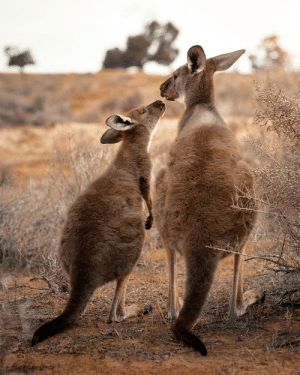 A special moment between a momma roo and her teenage kid 🔥: A special moment between a momma roo and her teenage kid 🔥
