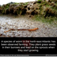 Memes, Sprouts, and Farming: A species of worm in the north-east Atlantic has  been observed farming. They plant grass seeds  in their burrows and feed on the sprouts when  they start growing  Photo courtesy of Jim van Belzen/newscientist  @factsweird