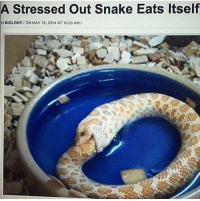snake eating itself: A Stressed out Snake Eats Itself  NBIOLOGY ON MAY 18, 2014 AT 10:00 AM