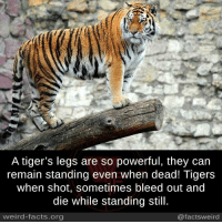 bleed out: A tiger's legs are so powerful, they can  remain standing even when dead! Tigers  when shot, sometimes bleed out and  die while standing still.  weird-facts.org  @factsweird