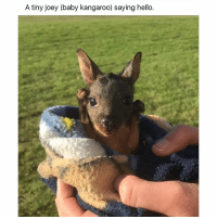 SWIPE & TAG ❤️ follow me @v.cute.animals 👈👈 @_theblessedone: A tiny joey (baby kangaroo) saying hello SWIPE & TAG ❤️ follow me @v.cute.animals 👈👈 @_theblessedone