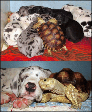 Tortoise, Puppers, and Amongst: A tortoise amongst puppers