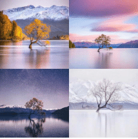New Zealand, Tree, and New: A tree on Lake Wanaka in New Zealand photographed at different times of the year