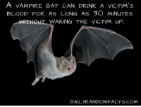 A VAMPIRE BAT CAN DRINK A VICTIM's  BLOOD FOR AS LONG AS 3O MINuTEs  UT WAKING THE VICTIM up.  DAILYRANDOMFA CTS COM
