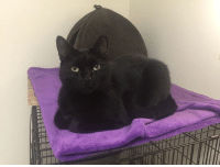 A WA Jeannie is the prettiest Black CAT Friday poster girl!  She is very sweet and loveable and is not aggressive toward other kitties.  Jeannie is almost three (3) years young and has been in the shelter since early 2015.  That's too long without a home of her very own!  If you are interested in adopting or fostering Jeannie, e-mail us at adopt@catsrusrescue.com or submit an application at http://catsrusrescue.org/adopt/adoption-application.