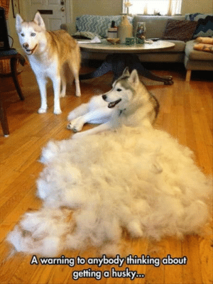 Good, Husky, and Still: A warning to anybody thinking about  getting a husky Still a good boye