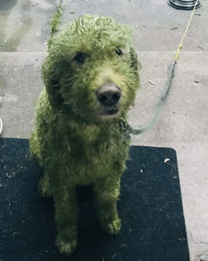 A wet dog and freshly cut grass: A wet dog and freshly cut grass